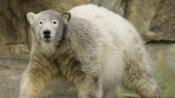 Knut drowned after swelling of his brain caused him to collapse and fall into his enclosure's pool at Berlin Zoo. (AP)