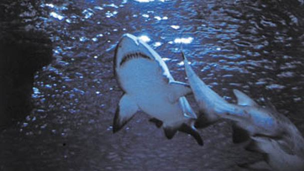 There have been a number of shark attacks this year in Australian waters