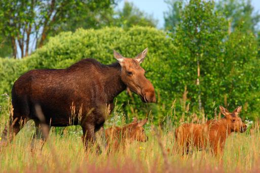 a family of elk at Chernobyl