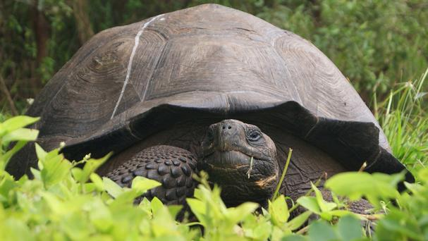 The new species of tortoise has been christened Chelonoidis donfaustoi after park ranger Fausto Llerena (Galapagos National Park/AP)
