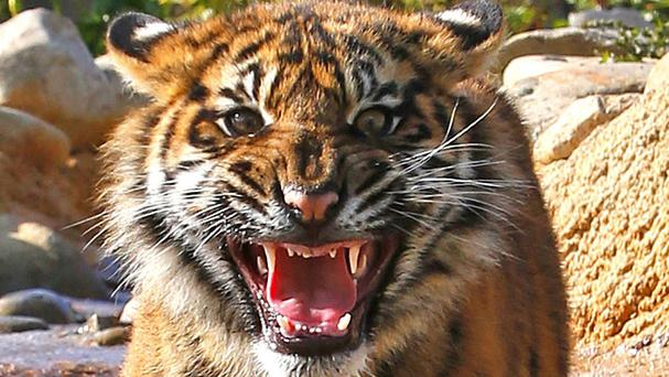 The zoo said it was most likely a tiger call Mai which bit the woman