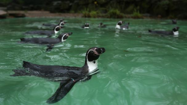 A police spokesman said the zoo found one Humboldt penguin dead in the flamingo cage and two others gone (AP)