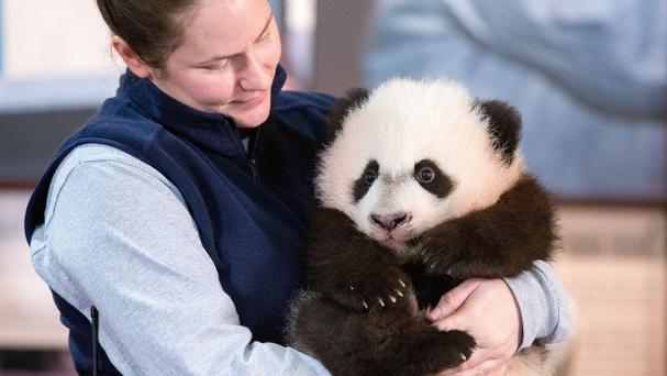 Animal keeper Stacey Tabellario holds Bei Bei, the National Zoo's newest panda (AP)