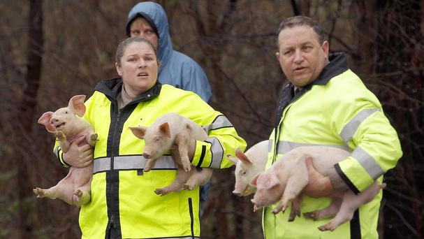 Animal control officers hold rescued pigs from an overturned truck in North Carolina (Chris Seward/The News & Observer via AP)