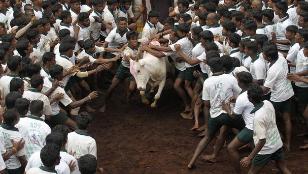 Supporters say Jallikattu is a deep-rooted part of Tamil Nadu's celebration of the harvest festival (AP)