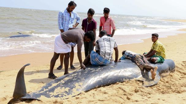 One of dozens of whales that have washed ashore on the Bay of Bengal coast (AP)