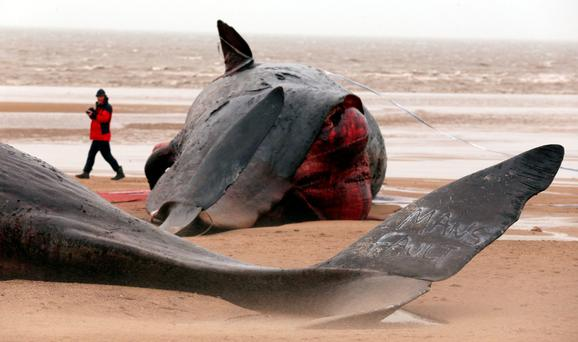 TRAGIC: One of the dead whales on the beach. Photo: PA