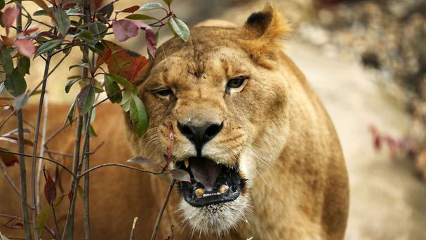 A wildlife park worker in South Africa has been killed in a lion attack