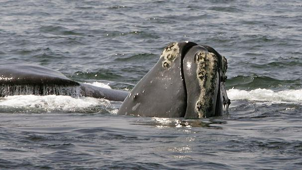 The head of a right whale peers up from the water as another whale passes behind in Cape Cod Bay (AP)