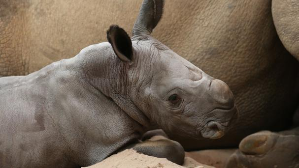 There are around 20,000 white rhinos in the world
