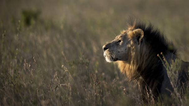 There have been two attacks by lions in Nairobi in the past month (AP)