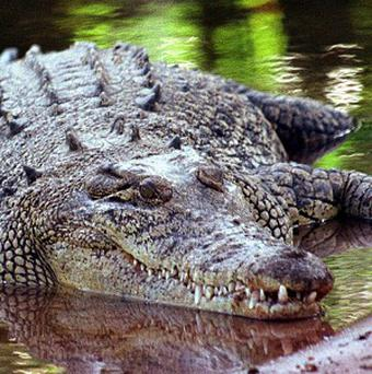 Saltwater crocodile attacks are not uncommon in Indonesia, but it is rare for a tourist to be killed. Stock photo