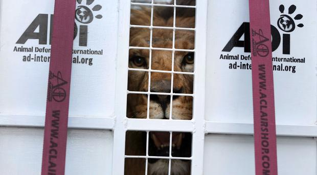 A former circus lion looks out from inside a cage transporting it to South Africa, at the port of Callao, Peru (AP)