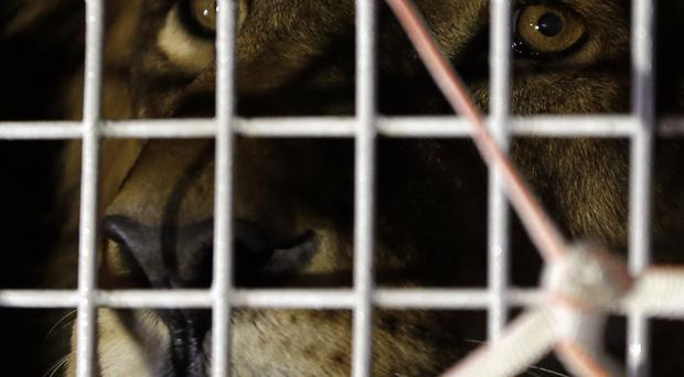 A former circus lion peers from inside a cage during their arrival at OR Tambo International airport in Johannesburg, South Africa. (AP)