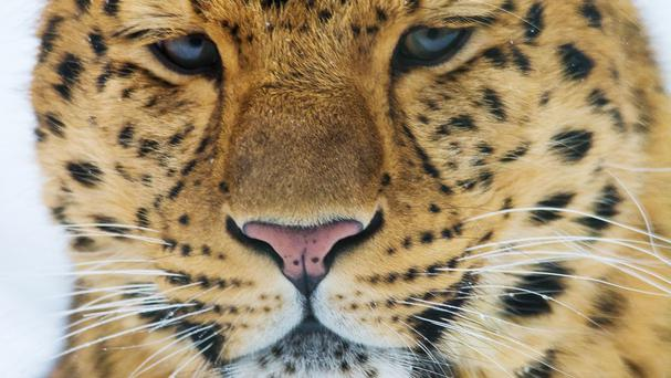 A critically endangered Amur leopard (Zoological Society of London/PA)