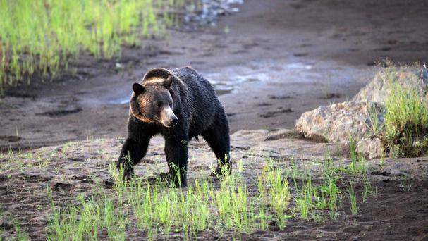 A grizzly bear walks near the Lamar Valley in Yellowstone National Park, Wyoming (Marc Cooke/Wolves of the Rockies via AP)