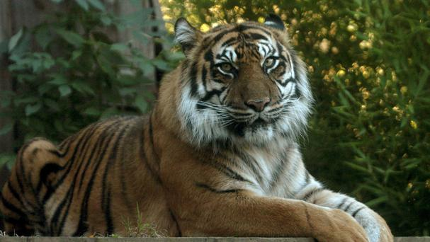 Two tigers who escaped from their enclosure have been retrieved by staff