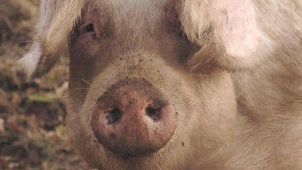 Johns Hopkins School of Medicine has performed surgery on pigs to train students