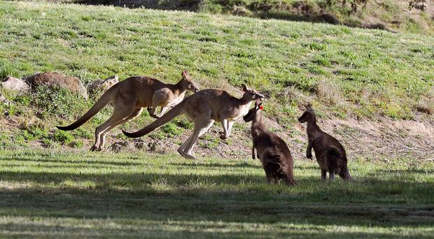 Two cyclists were left with injuries in Australia after a kangaroo jumped them