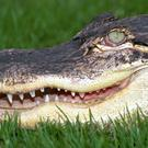 Fishermen saw alligators eating the man's body (Welsh Mountain Zoo/PA)