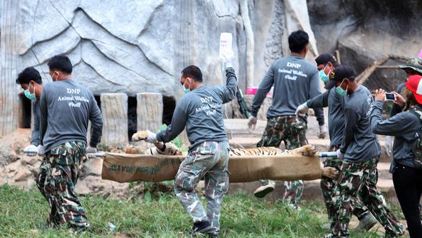 Officials carry a sedated tiger on a stretcher at the Tiger Temple in Saiyok district in Kanchanaburi province, west of Bangkok (AP)
