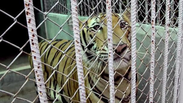 Police are continuing to investigating Thailand's now infamous Tiger Temple (AP)