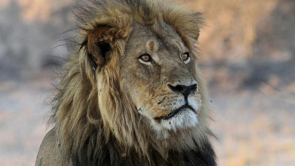 Cecil the lion rests near Kennedy One Water Point in Hwange National Park, Zimbabwe, in 2013 (AP)