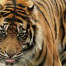 The Siberian tigers were in an enclosure at Beijing Badaling Wildlife World