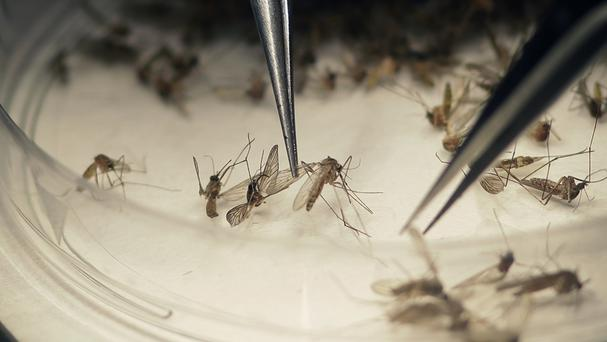 The Zika virus can be carried by mosquitoes (AP)