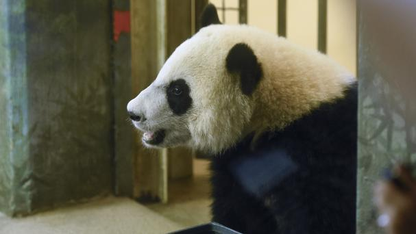Birthday boy Bei Bei takes a peek out of his cage at the National Zoo in Washington (AP)