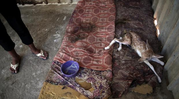 A worker stands next to an ill baby deer in a metal cage in the zoo in Khan Younis, southern Gaza Strip. (AP)