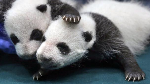 One-month-old panda cubs receive a check-up at the Chimelong Safari Park in Guangzhou in south China's Guangdong province (AP)