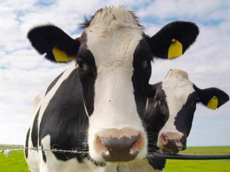 Country smell: Unlike other EU countries, agriculture is responsible for most (33pc) of Ireland's greenhous gas emissions. And cows produce almost all of that