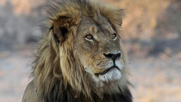 Cecil the lion was killed in 2015. Photo: AP
