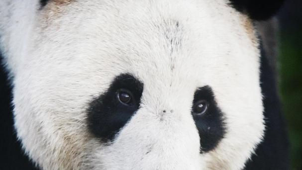 A panda in Edinburgh Zoo. The Smithsonian National Zoo in Washington, DC said one-year-old Bei Bei is recovering from the