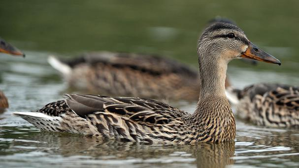 Up to a million ducks could be culled