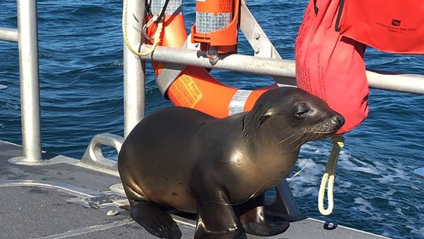 A sea lion hitches a ride on a US Coast Guard boat crew off the coast of Newport Beach. (US Coast Guard/AP)