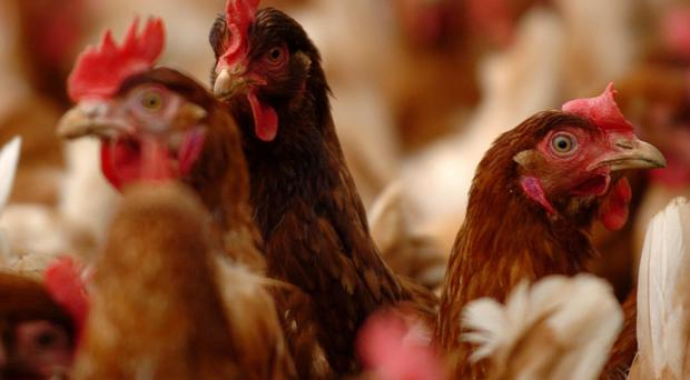 Domestic chickens have been hit by the HPAI outbreak in Uganda