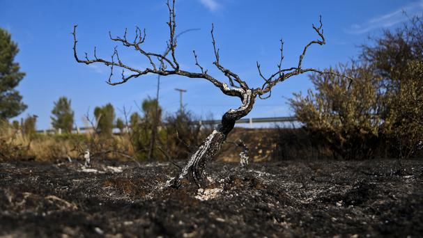 A grapevine scorched by wildfires at a vineyard in Cauquenes, Chile (AP Photo/Esteban Felix)