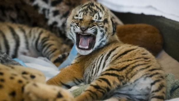 Newborn Malaysian tiger cubs rest in their nursery before they are fed at Cincinnati Zoo (AP/John Minchillo)