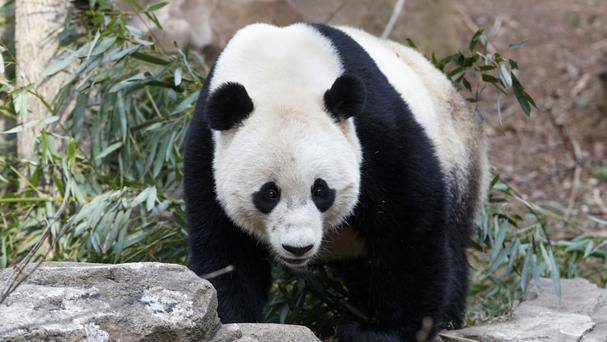 Bao Bao has arrived in China (AP/J Scott Applewhite)