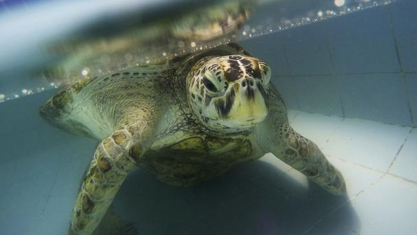 Bank, pictured at the Sea Turtle Conservation Centre in Chonburi Province, Thailand, has died despite two operations (AP)
