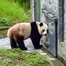 Bao Bao in her new surroundings. Photos: AP