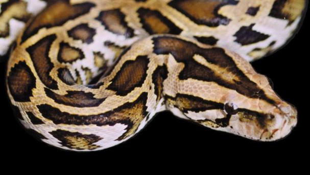 A 25-year-old Indonesian man has been swallowed whole by a python