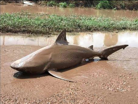 The Queensland Police Service released photos of a bull shark washed up on a road near the town of Ayr after torrential rains lashed the east coast of Australia