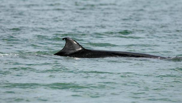 Norwegian authorities say the minke whale is not an endangered species