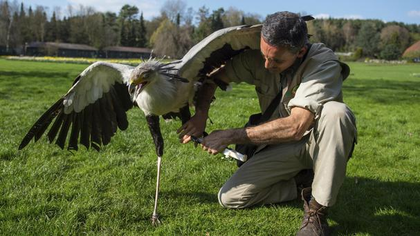 German Alonso straps a leg prosthesis to the left leg of secretary bird Soeckchen at the bird park in Walsrode, northern Germany (Philipp Schulze/dpa via AP)