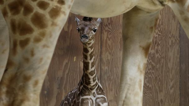 The birth of the giraffe captivated audiences around the world (AP)