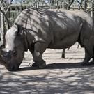 Sudan, a northern white rhino, arrives at the Ol Pejeta Conservancy in Kenya (AP)