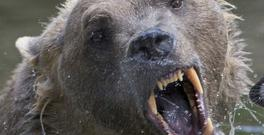 The bear was killed after it escaped from its enclosure from a zoo in the northern German town of Osnabrueck (AP)
